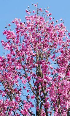 Set off beautifully by blue Cornish sky, #magnolia sprengeri var. Diva in full bloom at #Glendurgan near #Falmouth in #Cornwall  #spring #garden #flowers