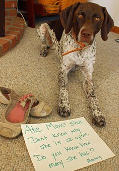 A little dog shaming at our house today #GSP Marburg!