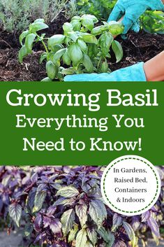 Growing Basil Everything You Need to Know How to grow basil in your garden raised bed containers and indoors Basil varieties and how to use it in recipes and medicinally Diy Herb Garden, Herb Garden Design, Home Vegetable Garden, Herbs Garden, Garden Types, Garden Ideas, Fruit Garden, Garden Art, Planting Vegetables