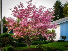Pink Dogwood, Dogwood Trees, Flowering Trees, Unique Trees, Small Trees, Trees For Front Yard, Front Porch, Front Yard Design, Garden Soil