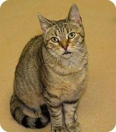 Medina, OH - Domestic Shorthair. Meet Wendy-FEE WAIVED, a cat for adoption. http://www.adoptapet.com/pet/13477938-medina-ohio-cat