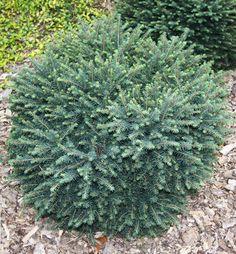 Smrek omorikový / Picea omorika ´KAREL´ cm Great Love, Plants, Image, Google, Planters, Plant, Planting