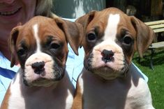 Boxer Puppies, Beyond cute