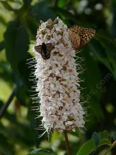 Buckeye trees are used as a nectar source for many native butterflies. Spring Azure/ Echo blue uses Aesculus californica as a larval food so...