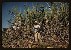 Recolector de caña de azúcar 1942, Puerto Rico