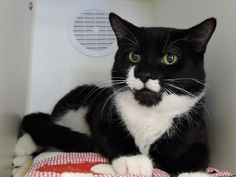 "BLACKBERRY – A1107902 - 1yr  MALE, BLACK / WHITE, DSH - HANDSOME TUXIE BOY – JUST A YEAR OF AGE – HOARDING VICTIM -  ""BLACKBERRY"" CAME IN WITH A LARGE GROUP OF CATS FROM SAME HOME"