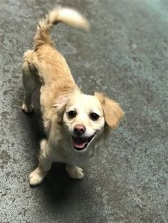 TO BE DESTROYED 11/21/17  **RESCUE ONLY**JAKE 12012  I am a male tan dog at the Brooklyn Animal Care Center. The shelter thinks I am about 2 years