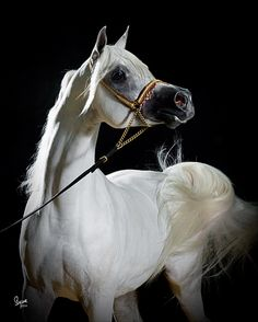 Arabian. The world's oldest domesticated horse breed, whose blood has been used to refine hundreds, if not thousands, of other breeds, including the American Thoroughbred. All Thoroughbreds living today can be traced back to a handful of Arabians imported to England centuries ago.