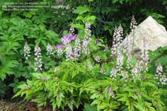 Tiarella 'Iron Butterfly' Fragrant white flowers April to July. Height & spread 30cm. Moist well-drained soil in part shade.