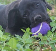 Leapy is an adoptable Black Labrador Retriever Dog in Salem, NH. Hi my name is Leapy. I am a little black lab mix. My Momma was a very good natured lab. I get along with children, other dogs and cats....