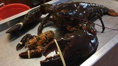 Canadian Vegan Buys Gigantic Century-Old Lobster, Sets It Free