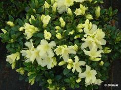 """Rhododendron 'Patty Bee'. H 18"""". Blooms April."""
