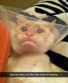 Attack Of The Funny Animals - 35 Pics Dennis, the cat, does not like the cone of shame! Cute Cat Gif, Cute Funny Animals, Funny Cute, The Funny, Cute Cats, That's Hilarious, Daily Funny, Funny Jokes, Crazy Cat Lady