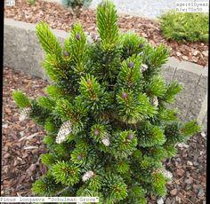 Pinus longaeva 'Schulman Grove'