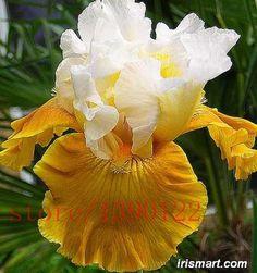 100pcs iris seeds, Iris orchid seeds Rare Heirloom Tectorum Perennial Flower Seeds, 24 colors to choose, plant for home garden