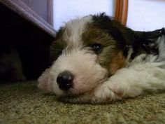 Wire Fox Terrier | Clumber Up News