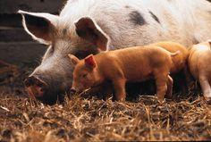 PHOTO Sow and pigs, organic animal farming
