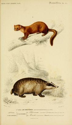 Dictionnaire Universel d'Histoire Naturelle  -  1847-49.