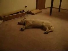 Bizkit the Sleep Walking Dog.  To capture this on film, the dog must do this frequently!  This is a favorite dog video of mine!  I thought you might laugh, too!