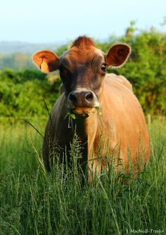 A beautiful Jersey cow
