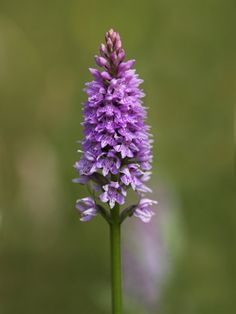 Common Spotted Orchid, Gait Barrows Nature Reserve, Arnside, Cumbria, England  by Steve & Ann Toon