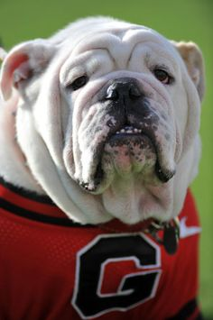 UGA...Love him! (University of Georgia mascot)