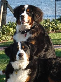 Bernese Mountain Dog. My Loves.