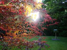 Acer in the sun!
