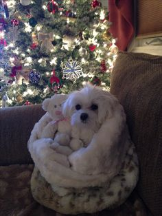 Maltese baby cuddle time!