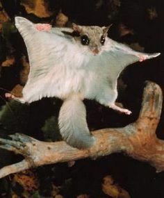 Flying Squirrel:)