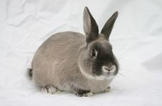 The Smoke Pearl Rabbit has a luxurious, thick, and soft coat. These rabbits are laid-back, easy going, and enjoy being around people. Rabbit Breeds, Pet Rabbit, Beatrix Potter, Pet Store, Guinea Pigs, Your Pet, Wildlife, Bunny, Smoke