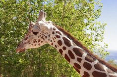 MEET THE TALLEST ANIMAL IN THE WORLD, THE GIRAFFE  Giraffes are most known because of their long necks and unique patchwork patterns and are therefore among the most recognizable animals in the animal kingdom. Their long tongue, large eyes, tufted tail and sizeable ears, further contribute to their extraordinary appearance…