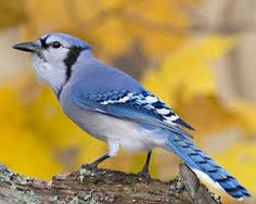 Image result for Blue Jay