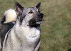 Norwegian Elkhound #germanshepherd