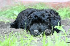 How to Care for a Maltipoo Puppy
