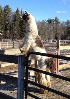 This llama who knows no boundaries: | 15 Llamas Who Just Do Not Give A Damn