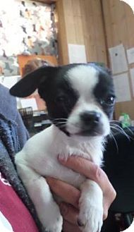 Frederick, MD - Boston Terrier Mix. Meet Jujube, a puppy for adoption. http://www.adoptapet.com/pet/17375708-frederick-maryland-boston-terrier-mix