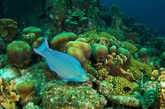 Saving Coral Reefs Requires Halting Climate Change. Queen parrotfish on a healthy and diverse coral reef in Curaçao. (Photo courtesy Stan Bysshe)