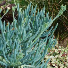 Senecio talinoides ssp. mandraliscae' - Avant Gardens Nursery & Design