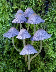 Coprinellus sp. ~ By Bernard Spragg