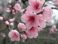 dessin fleur de cerisier banque d'images, vecteurs et