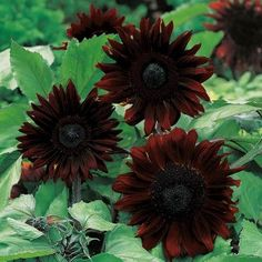 Sunflower Black Magic Mr Fothergill's Range Seed - Irish Plants Direct