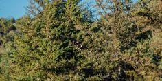 🌳🌿🍀 Κυπαρίσσι, ένα από τα πιο όμορφα και εντυπωσιακά κωνοφόρα δέντρα της Μεσογείου με εξαιρετική ανθεκτικότητα και υπέροχο βαθυπράσινο φύλλωμα. 🌳 Τα κυπαρίσσια αποτελούν εξαιρετική επιλογή για δημιουργία ψηλού φράχτη και είναι ιδανικά δέντρα για οριοθέτηση χώρων ή για ανάδειξη επιβλητικών κτιρίων. 🌱 Μπορούμε να φυτέψουμε κυπαρίσσι σε γλάστρα για να το απολαμβάνουν στην αυλή και στο μπαλκόνι μας.