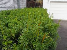 Hekkplanter for enhver smak, her er mine forslag. Hedges, Oasis, Garden, Plants, Slik, Garten, Lawn And Garden, Living Fence, Gardens