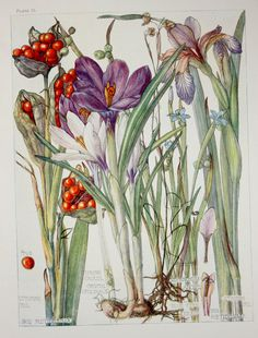 1910 Botanical Print by H. Isabel Adams: Iris by PaperPopinjay