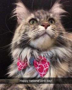 Good morning!!! Listen up girls! Today is national pink day! #nationalpinkday let's celebrate this pinklicious day with pink accessories  (follow us on snapchat Daveinspeare) #ShakespeareTheMaineCoon #mainecoon #mainecoon_id  #animalsco #instacat_meows #cats_of_world #cat_features #catsofinstagram #bestcats_oftheworld #cutepetclub  #CatsofDallas #igTxCats #BestMeow #meowvswoof #igAnimal_snaps #topcatphoto #excellent_cats #CatPhotoFriday #catsofgram #buzzfeedanimals #teamfancykitty…