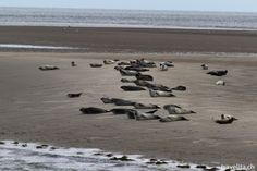 So cute - I spotted seals in the North Sea #germany