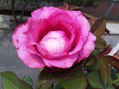 Rosa con cúpula interna.