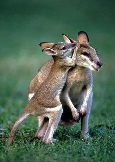 Mini roos! They could ridepost in a smart car they're so small!