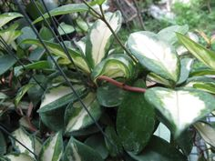 Hoya plants | HOYA-CARNOSA-VARIEGATA.jpg Photo by areya_photos | Photobucket